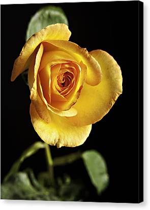 Sharp Yellow Rose On Black Canvas Print by M K  Miller
