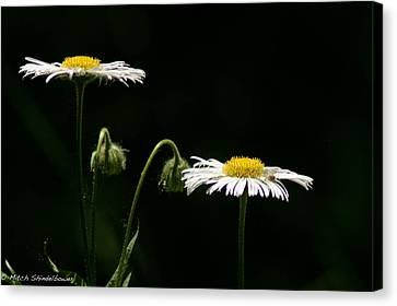 Canvas Print featuring the photograph Shasta Daisies by Mitch Shindelbower