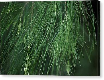 Canvas Print featuring the photograph She Oak by Carole Hinding