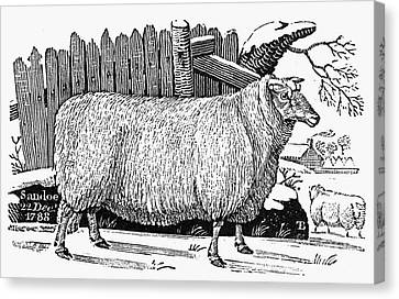 Sheep, 1788 Canvas Print by Granger