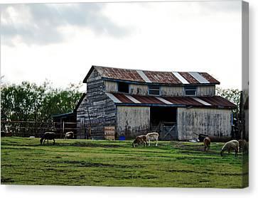 Sheep Barn Canvas Print by Lisa Moore