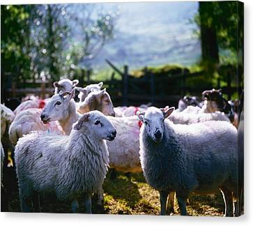 Sheep, Co Kerry, Ireland Canvas Print