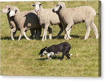 Sheep Dog Trials Canvas Print