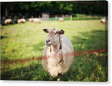 Sheep Canvas Print by Easonliao