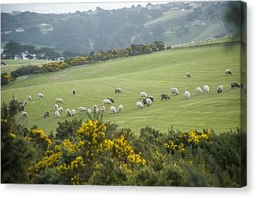 Sheep Graze On The Otago Peninsula Canvas Print by Bill Hatcher