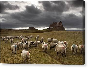 Sheep Grazing By Lindisfarne Castle Canvas Print by John Short