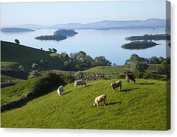 Sheep Grazing By Lough Corrib Cong Canvas Print