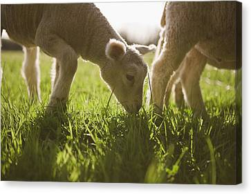 Sheep Grazing In Grass Canvas Print by Jupiterimages