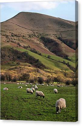 Sheep Grazing In Peak Canvas Print by Michelle McMahon