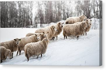 Sheep Herd Waking On Snow Field Canvas Print by Coolbiere Photograph