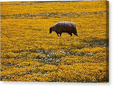 Sheep In Meadow Of Golden Flowers Canvas Print by Garry Gay