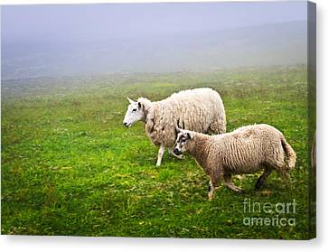 Sheep In Misty Meadow Canvas Print