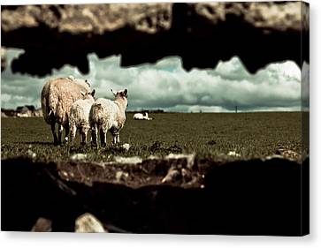 Canvas Print featuring the photograph Sheep In The Wall by Justin Albrecht