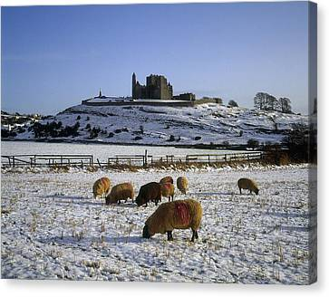 Sheep On A Snow Covered Landscape In Canvas Print by The Irish Image Collection