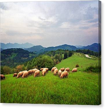 Sheep On Meadow Canvas Print by Katarina Stefanovic