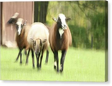 Sheep On The Run Canvas Print by Karol Livote