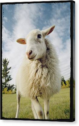 Sheep Sheared With Poodle Cut Canvas Print by Darwin Wiggett