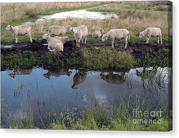 Canvas Print featuring the photograph Sheep by Vilas Malankar