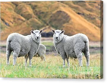 Sheeps Canvas Print by MotHaiBaPhoto Prints