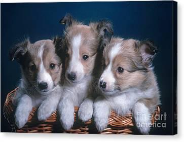 Sheltie Puppies Canvas Print