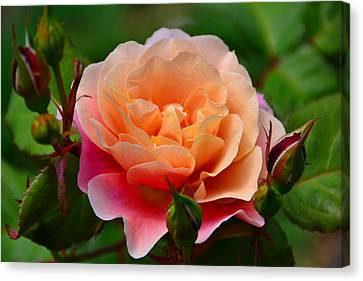 Sherbet Rose Canvas Print