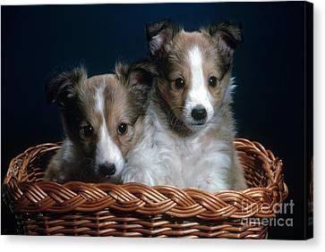 Shetland Puppies Canvas Print by Nature Source