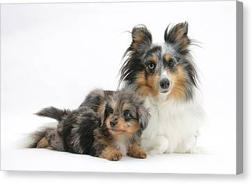 Shetland Sheepdog With Pup Canvas Print by Mark Taylor