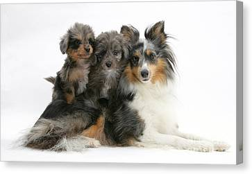 Shetland Sheepdog With Puppies Canvas Print by Mark Taylor