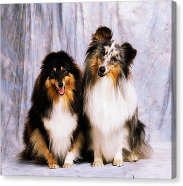 Shetland Sheepdogs Portrait Of Two Dogs Canvas Print by The Irish Image Collection
