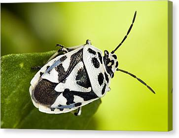Shield Bug Canvas Print by Paul Harcourt Davies