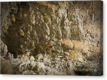 Shift Change Yellow-jacket Wasps Flying Out To Forage As Others Return To The Nest Canvas Print by Andy Smy