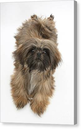House Pet Canvas Print - Shih-tzu by Mark Taylor