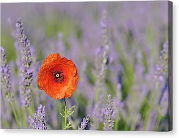 Shirley Poppy In English Lavender Field, Valensole, Valensole Plateau, Alpes-de-haute-provence, Provence-alpes-cote D Azur, Provence, France Canvas Print by Martin Ruegner