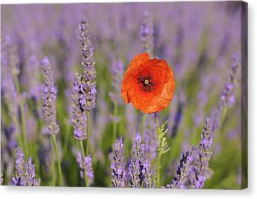 Shirley Poppy In English Lavender, Valensole, Valensole Plateau, Alpes-de-haute-provence, Provence-alpes-cote D Azur, Provence, France Canvas Print by Martin Ruegner