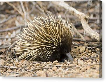 Short-beaked Echidna Canvas Print by Matthew Oldfield