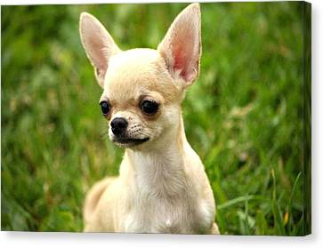 Short Coat Chihuahua Photograph by Ernestas Papinigis