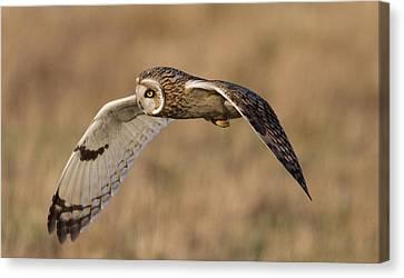 Short-eared Owl In Flight Canvas Print