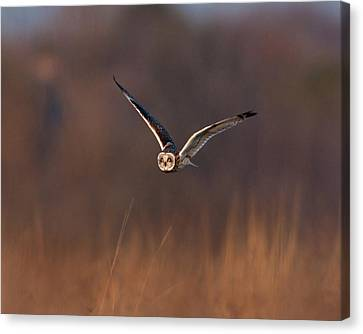Short-eared Owl Canvas Print by Photo by DCDavis