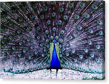 Showoff Canvas Print by Eric Chapman