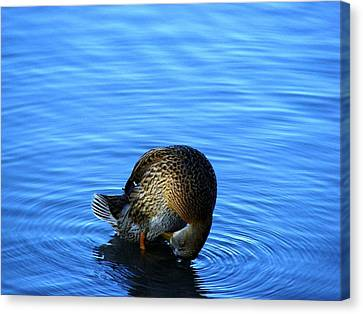 Shy Canvas Print by Dave  Kueng