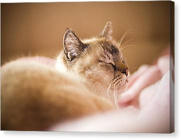 Siamese Cat Is Sleeping On Bed Canvas Print