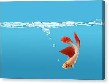 Betta Canvas Print - Siamese Fighting Fish Betta Splendens by Don Hammond