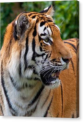 Canvas Print featuring the photograph Siberian Tiger by Cindy Haggerty