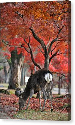 Sika Deer In Autumn Colors Canvas Print by Myu-myu