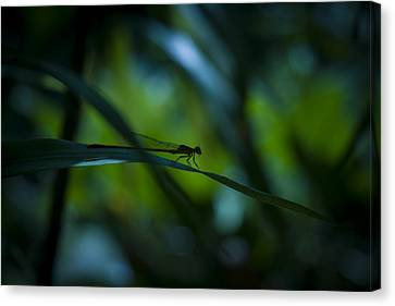 Silhouette Of A Damselfly Canvas Print