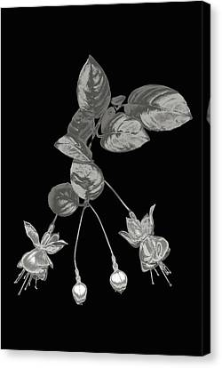 Silver Fuchsia Flowers On A Black Background Canvas Print