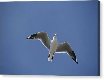 Silver Gull In Flight Canvas Print by Jason Edwards