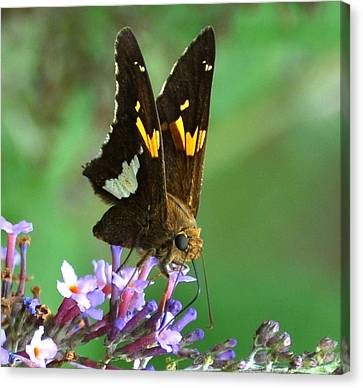 Silver Skipper Canvas Print