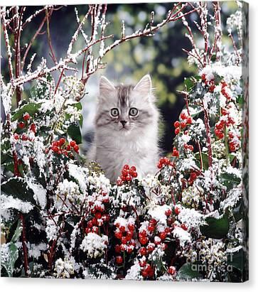 Silver Tabby Kitten Canvas Print by Jane Burton