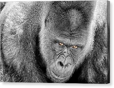 Canvas Print featuring the photograph Silverback Staredown by Jason Politte